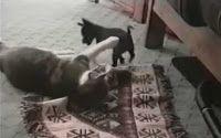 """""""O GRITO DO BICHO"""": Como um cachorrinho esperto rouba o tapete de um g..."""