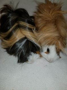 Frito & Chilli is an adoptable guinea pig searching for a forever family near Round Rock, TX. Use Petfinder to find adoptable pets in your area.