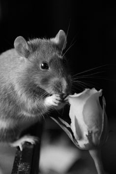 rats <3 roses (via rat-it-to-me.tumblr.com)
