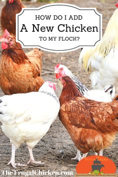 Adding a new chicken to an existing flock can get tricky. Here's how to do it safely.