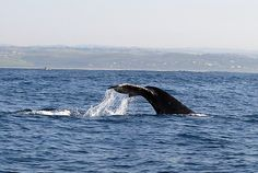 Whale Watch the Garden Route; South Africa