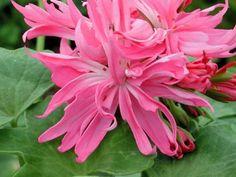 "Pelargoniums – tagged ""Stellar"" – Page 4 – Fibrex Nurseries Ltd Ivy Leaf, White Eyes, Pink Candy, Geraniums, Biodegradable Products, Roots, Nursery, Flowers, Plants"
