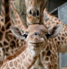 """Giraffe Asks For Help"" - a bookwrap Happy Animals, Cute Funny Animals, Cute Baby Animals, Animals And Pets, Giraffe Pictures, Animal Pictures, Mundo Animal, My Animal, Cute Giraffe"