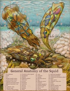 Anatomy of the squid