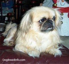 A tan with white and black Pekingese is laying on a leather ottoman and looking to the right.