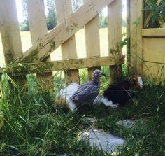 In a garden in Malmö, once upon a time where two guinea pigs, Tilda and Vilda and one seagull named Pistage.