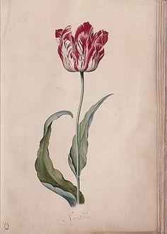 Tulip - Judith Leyster