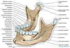 Mandíbula: Protuberancia mentoniana, Fosa digástrica, Rama de la mandibula, Conducto mandibular, Apófisis condilar cóndilo de la mandíbula