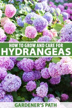 Did you know that hydrangeas come in a variety of shapes and sizes? From compact, container plants t Hydrangea Shrub, Hydrangea Care, How To Plant Hydrangea, Caring For Hydrangeas, How To Grow Hydrangeas, Hydrangea For Shade, Full Sun Hydrangea, Growing Hydrangea, Hydrangea Tattoo