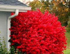 Euonymus Plants For Sale Garden Shrubs, Landscaping Plants, Garden Beds, Low Growing Shrubs, Growing Tree, Burning Bush Shrub, Euonymus Alatus, Dwarf Shrubs, Plants