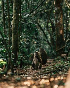 Wild monkeys were a regular sighting outside our room at the Kibale Primate Lodge in Uganda. #monkey #africa #uganda #safari