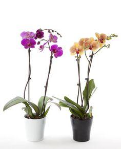 Faire refleurir les orchidées : 20 astuces pour des plantes vertes enpleine santé - Linternaute.com Bricolage Orchid Pot, Orchid Plants, All Plants, House Plants, Indoor Orchids, Orchids Garden, Types Of Orchids, White Orchids, Small Garden Inspiration