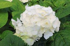 Ballhortensie Endless Summer ® 'The Bride' - Hydrangea macrophylla Endless Summer ® 'The Bride'