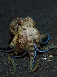 "The COCONUT OCTOPUS is the only invertebrate known to use tools, and one of only two octopuses known to exhibit bipedal behavior by ""walking"" on two of its legs. Underwater Creatures, Underwater Life, Ocean Creatures, Underwater Animals, Kraken Octopus, Octopus Art, Baby Octopus, Coconut Octopus, Life Under The Sea"