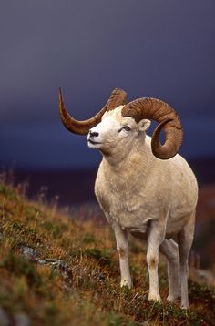 "This actually is a Dall ram (Ovis dalli dalli), which technically is a ""thinhorn sheep"" not a Bighorn sheep. A beautiful wild sheep, whatever you call it!"