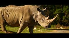 Save Rhinos from extinction - short film by Green Renaissance - www.greenrenaissance.co.za - corporates can make a difference by raising funds for rhino conservation. The Woolworths rhino bag initiative is one such successful project.