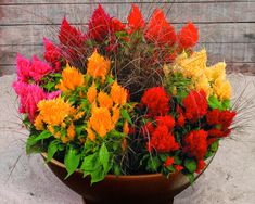 Cockscomb (Celosia Cristata) comes in a variety of colors and can handle the full sun. Few flowers create such a show in the garden. Varieties include Amigo Red, Armor Yellow, Flamingo Feather, Fresh Look Yellow, Fresh Look Red and New Look. Plant them in the ground or in a pot where you need some dramatic impact!