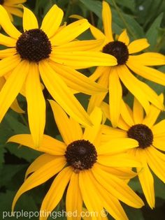 Chocolate and golden of rudbeckia at its peak, www.purplepottingshed.com