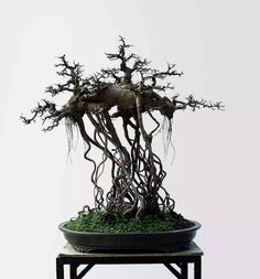 Such a strange composition, but cool too. I'd love to see this one inleaf. Photo by Hussien M. #bonsai #Bonsaialambre #Bonsaimacetas