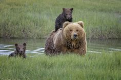 The family trio crossed the creek in the never-ending search for food in the Lark Clark National Park in Alaska