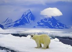 Bear in the arctic Photo by Sabry Mason -- National Geographic Your Shot