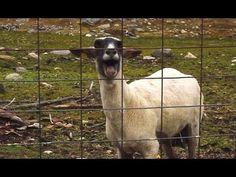 La cabra más famosa de YouTube. ¿Superará al OLA K ASE o al efímero Harlem Shake?