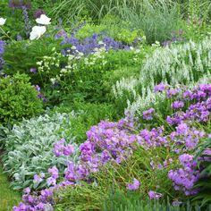 Salvia, Lamb's Ear, Phlox, Herbs and Grasses come together to create a colorful picture.
