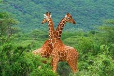 Žirafí souboj v Národní rezervaci Samburu