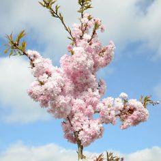 5ft 'Asano' Cherry Blossom Tree | Prunus 'Asano' | 11.5L Pot | TW at 45cm | By Frank P Matthews £49.99 Cherry Blossom Tree, Pink Blossom, Blossom Trees, Colorful Flowers, Pink Flowers, Compost Soil, Columnar Trees, Root System, Replant