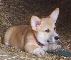 Dylan- Corgi Puppy