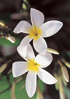 As numerosas e perfumadas flores do jasmim-manga surgem com mais intensidade entre a primavera e o verão. No outono,a árvore perde as flores e todas as olhas, deixando expostos os seus galhos ramificados.
