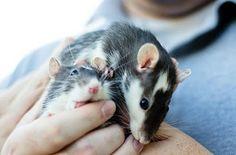 we <3 rat manicures. (via ratdistrict.tumblr.com).