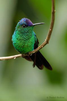 Violet-capped Woodnymph - Thalurania glaucos. / Explore Daniel Sziklai G.'s 1220 photos on Flickr.