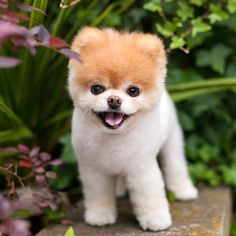 Social media sensation Boo the Pomeranian dog passed away Friday due to heart problems Cute Puppies, Cute Dogs, Dogs And Puppies, Beagle Puppies, Pomeranian Boo, Pomeranian Haircut, Dog Passed Away, Baby Animals, Cutest Animals