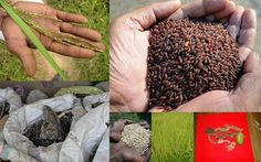 Medicinal Rice based Tribal Medicines for Diabetes Complications and Metabolic Disorders (TH Group-777) from Pankaj Oudhia's Medicinal Plant Database. Encyclopedia of Tribal Medicines by Pankaj Oudhia. #Vedic #Biodiversity #Ethnobotany