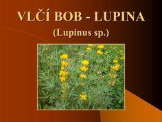 VLČÍ BOB - LUPINA (Lupinus sp.).