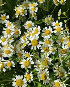 Summer daisy flowers - mrselfportrait Daisy Flowers, Green Life, Cute, Summer, Plants, Summer Time, Margarita Flower, Kawaii, Plant