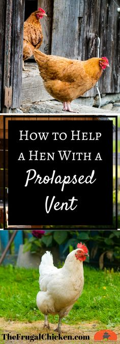 When you hen has a vent prolapse, it can be super stressful. Here's how to recognize when your hen has a prolapsed vent and what to do about it.