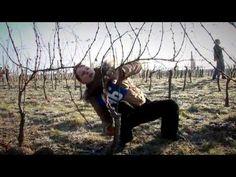 Návod jak správně ostříhat vinohrad a postarat se o vinohrad. Vhodné pro naprosté amatéry. Vše je vysvětleno a několikrát názorně předvedeno. Nejlépe provádě...