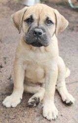 Mastiff/lab mix! I need it!