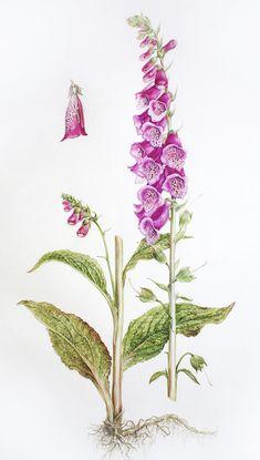 Online botanical illustration course Dianne Sutherland
