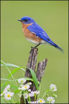 Eastern Bluebird. Got a cutie like this tattooed on my arm.