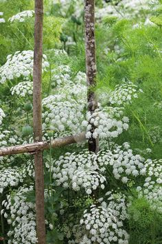 """Ammi majus (Bishop's flower) (... NOT gout weed/Bishop's weed even if same flower): annual, if sown in spring: 3x1'/ sown in fall <6'x18"""", full sun-part shade, moist well drained, any soil/PH; lacy white airy umbels - like a more delicate cow parsley, ferny bright green foliage; easy care: generally pest/disease free, bushier more prolific flowers if seed sown in fall (5x the flower harvest), may need staking - do so when seedlings reach 3-4in high; cut flowers, unscented, filler plant;"""
