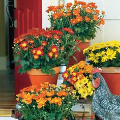 Classic Mums in Red, Yellow, and Orange Blooms. Painted Terracotta Pots Complement the Color of the Flowers.