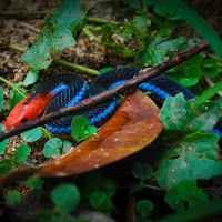 Blue Malaysian Coral Snake