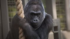 There's been another gorilla death at a zoo in Ohio. And while this one is of natural causes, it's no less heart-breaking.
