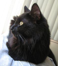 Why I Like Black Cats #whydocatmeow - Catsincare.com!