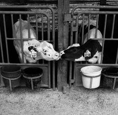 Separated from their mothers, separated from each other, soon to become veal and soft leather gloves. Do you support this? They belong with their mothers and the herd. Mercy For Animals, Animals And Pets, Funny Animals, Cute Animals, Baby Animals Super Cute, Leather Gloves, Soft Leather, Vegan Quotes, Vegetarian Lifestyle