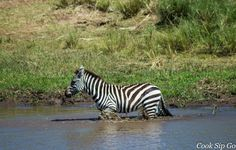 A zebra crossing the Mara River in the Masaai Mara, Kenya.