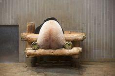 Copanda_ パンダのシンシン 2014-08-08  Shin Shin the Giant Panda